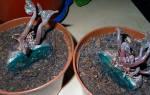 Размножение цикламена делением клубня