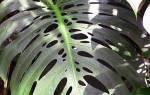 Декоративно лиственные растения