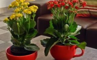 Выращивание каланхоэ в домашних условиях