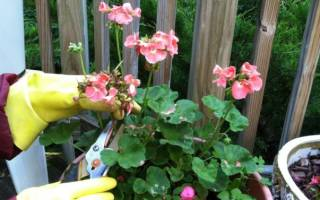 Можно ли обрезать герань во время цветения