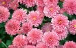 Хризантема комнатная когда цветет