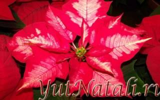 Цветок рождественская звезда приметы для дома