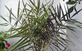 Как поливать финиковую пальму в домашних условиях
