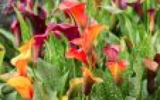 Как посадить каллу в саду