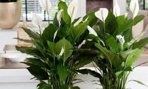 Спатифиллум пожелтели листья