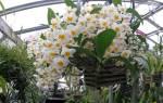 Разновидность орхидеи дендробиум