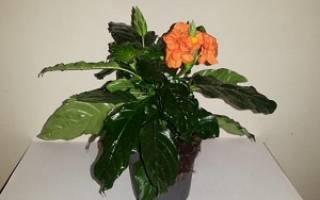 Кроссандра цветок комнатный уход