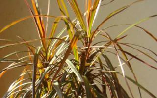 Драцена листья желтеют