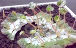 Как размножается клубневая бегония