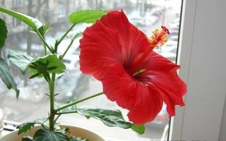 Цветок гибискус комнатный