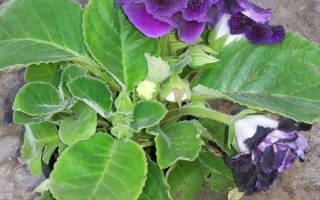 Пятна на листьях глоксинии