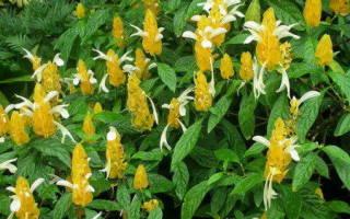 Почему не цветет пахистахис в домашних условиях