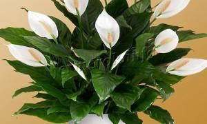 Цветок женское счастье уход в домашних