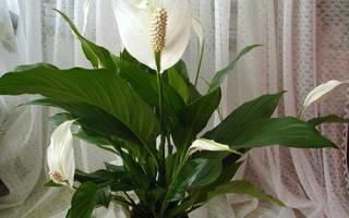 Цветок женское счастье желтеют листья