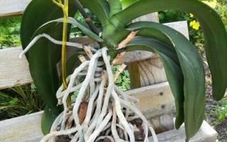 Как обновить орхидею в домашних условиях