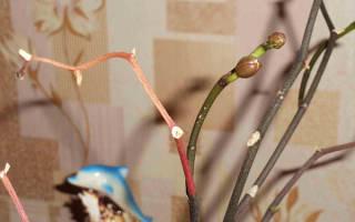 Размножение орхидей цветоносами