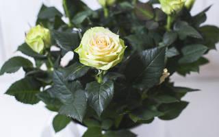 Комнатная роза как ухаживать