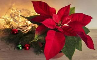 Рождественская звезда уход