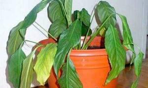 У спатифиллума сохнут кончики листьев что делать