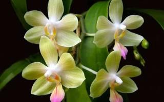 Орхидея уход и выращивание в домашних условиях