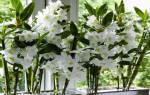 Бамбуковая орхидея уход в домашних условиях