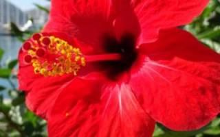 Гибискус почему цветок смерти