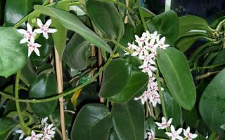 Цветок хойя уход в домашних условиях