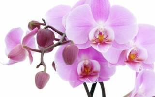 Почему у орхидеи лопаются листья