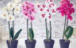 Как рассадить орхидею в домашних условиях пошагово