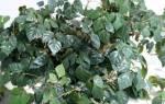 Березка комнатное растение уход