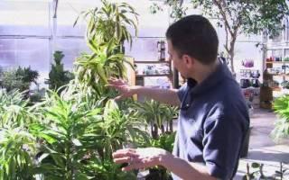 Драцена почему сохнут кончики листьев