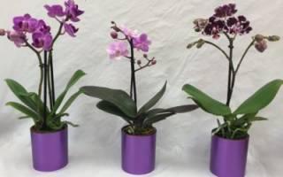 Орхидея мини уход в домашних условиях