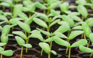 Фаленопсис из семян