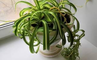Хлорофитум как рассадить