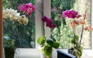 Сколько цветут орхидеи