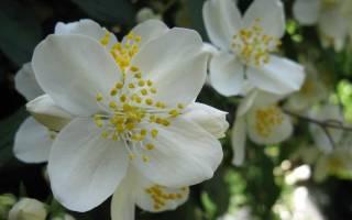Как посадить жасмин черенками