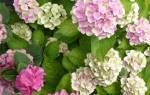 Когда можно пересаживать гортензию садовую