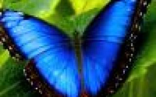 Как выращивать лобелию