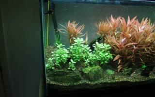 Аквариумное растение лобелия