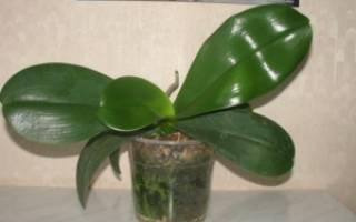 Почему не цветет орхидея в домашних