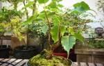 Выращивание фикуса в домашних условиях