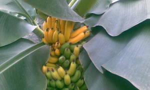 Банановая пальма это дерево или трава