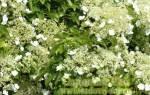 Гортензия petiolaris