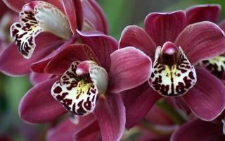 Орхидея без грунта