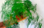 Аспарагус перистый размножение