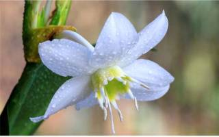 Почему не цветет эухарис