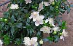 Почему мирт не цветет