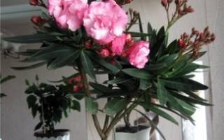 Желтеют листья у олеандра почему