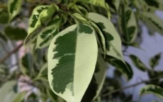 Почему у фикуса опадают листья что делать