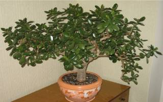 Денежное дерево как вырастить